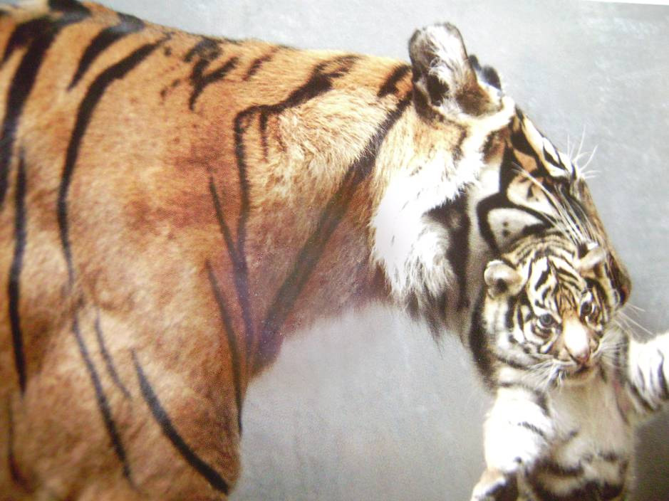 Tiger und Baby 2013 Madeleine